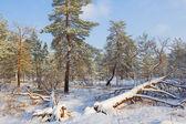 Winter forest scene — Stok fotoğraf
