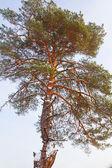 Closeup çam ağacı — Stok fotoğraf