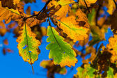Dry oak leaves on a blue sky background — Stock Photo