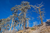 Dry pine trees on a mount slope — Stock Photo