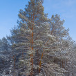 Stock Photo: Closeup snowbound pine tree
