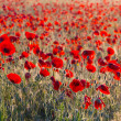 Beautiful red poppy field — Stock Photo