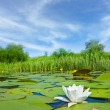 Beautiful water lily — Stock Photo