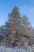 Closeup snowbound pine tree — Stock Photo
