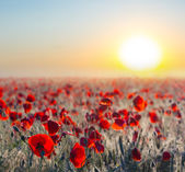 Red poppies at the early morning — Stock Photo