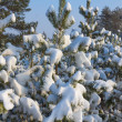 Stock Photo: Closeup snowbound pine trees