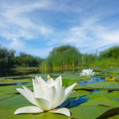 White water lily on a summer lake — Stock Photo