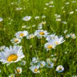 White camomile field — Stock Photo