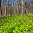 Spring forest glade — Stock Photo