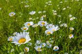 White camomile field — Stock Photo