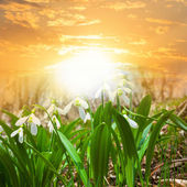 White snowdrops at the sunset — Foto de Stock