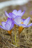 Closeup fialové květy — Stock fotografie
