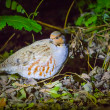 Gray partridge in a forest — Stock Photo