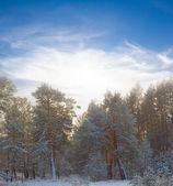 Winter forest scene — Stock Photo