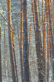 Pinheiros de closeup em um inverno — Fotografia Stock