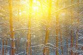 太陽の光線で冬の森 — ストック写真