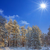 Winter forest scene — Stockfoto