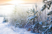 Winter forest at the early morning — Foto Stock