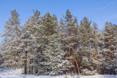 Winter snowbound forest — Stock fotografie