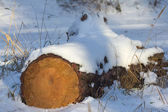Pine log in a winter forest — Stock Photo