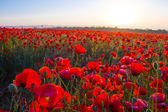 Red poppy field at the morning — Stock Photo