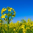 Rape field — Stock Photo #39715779