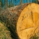 Pine tree trunk — Stock Photo