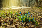 Early spring flowers in a forest — Stock Photo