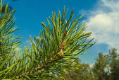 Closeup pine branch — Stockfoto