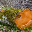Beech trunk in a forest — Stock Photo