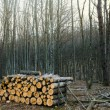Stock Photo: Heap of trunks in a forest