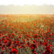 Red poppy field at the early morning — Stock Photo