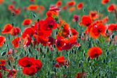 Red poppy in a grass — Stock Photo
