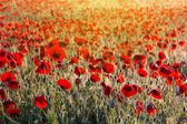 Beautiful morning poppy field — Stock Photo