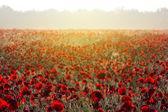 Campo di papaveri rosso alle prime ore del mattino — Foto Stock