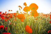 Red poppy field in a rays of morning sun — Stock Photo
