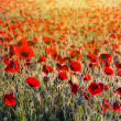 Beautiful morning poppy field — Stok fotoğraf