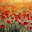 Beautiful morning poppy field — Stock fotografie