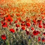 Beautiful morning poppy field — Stock fotografie