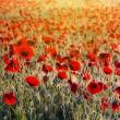 Beautiful morning poppy field — Photo