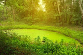 Small swamp in a forest — Stock Photo