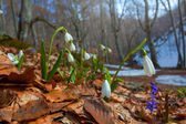 Snowdrops in a forest — Stock Photo