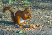 Red squirrel gnaw a nut — Stock Photo
