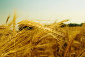 特写小麦耳朵 — 图库照片