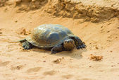 Turtle on a sand — Stock Photo