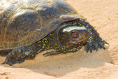 Closeup turtle on a sand — Stock Photo