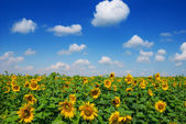Summer sunflower field scene — Stock Photo