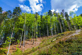 Pine forest on a hill slope — Stock Photo
