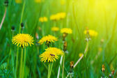 Closeup yellow dandelion — Stock Photo