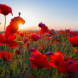 Early morning red poppy field scene — Stock Photo